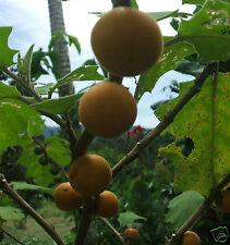 100 FRESH NARANJILLA PLANT FRUIT SEEDS GARDEN