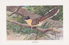 Straußkuckuck Cuculidae Kuckuck Farbdruck von 1911 Wilhelm Kuhnert
