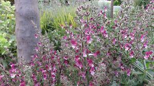 Salvia eigii, 20 seeds