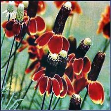 MEXICAN HAT SEEDS RATIBIDA COLUMNIFERA LONG FLOWERING POT GARDEN 340 SEED PACK