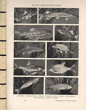 1927 PRINT ~ BRITISH FRESH-WATER FISHES ~ RAINBOW TROUT PERCH SILVER BREAM PIKE