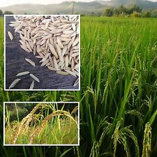 Thai Jasmine Rice 200 Heirloom Seeds Unique flavor Organic Source from Thailand