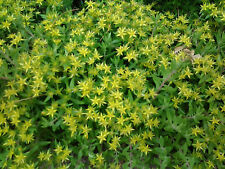 25+ Yellow Star Sedum Sarmentosum Live Plants Hearty Creeping Perennial, Sun