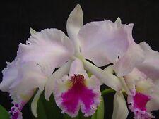 Cattleya labiata var. rosada species orchid