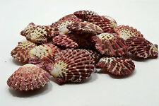 "6 pairs of Pecten Phallium Purple Pink Sea Shells 1-1/2 to 2"" Nautical Sea Decor"