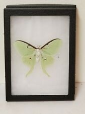 Real framed Luna Moth(F)#1 from North America