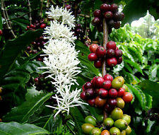COFFEE ARABIAN Coffea Arabica Nana - 100 Bulk Seeds