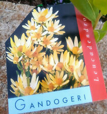 Leucadendron Gandoogeri in 75mm tube (Leucadendron and Protea) cut flower