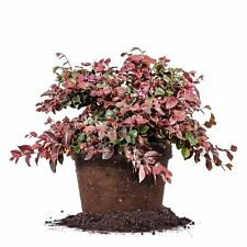 Ruby Loropetalum, Live Plant, Size: 1 Gallon