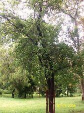 Sandalwood - SANTALUM ALBUM - 5 Seeds - Trees