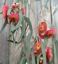 Eucalyptus caesia magna - Silver Princess  - 50 Seeds