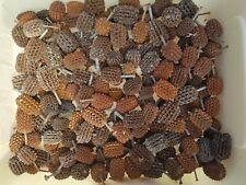 Large Australian Gum Nuts 100 Casuarina Pods, Sheoak Pods Seasoned Kids Crafts