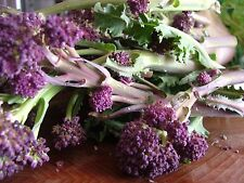VEGETABLE  BROCCOLI PURPLE EARLY SPROUTING  2000+ FINEST SEEDS