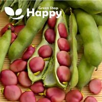 KARMAZYN - BROAD BEAN - 15 SEEDS - Pink fava beans Vicia fava - Sow In February