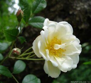 Ramblerrose Lykkefund ,  Olsen , 1930, starker Duft, Wuchshöhe bis 600 cm