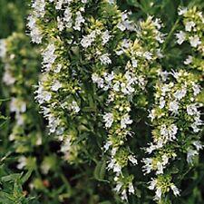 Hierba Seeds-hisopo Blanco - 500 semillas