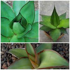 50 semi di agave chazaroi ,piante grasse, piante succulente,seed succulents