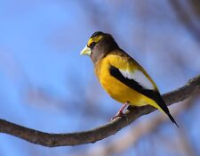 METAL MAGNET Evening Grosbeak Gold Black Travel Canada Bird Birds MAGNET