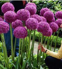 80+ seeds  GIANT ALLIUM GLOBEMASTER Allium Giganteum Flower Seeds