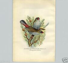 1899 Australian Fire Tailed Bird Lithograph Litho Book Plate F W Frohawk