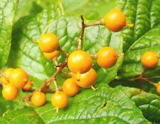 rare hardy climber vine STAFF VINE Celastrus glaucophylla showy orange fruit
