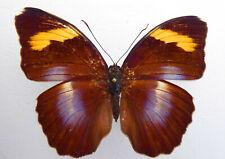 Nymphalidae,Euphaedra medon ssp.? ex Kamerun  n702