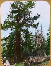 Yellow Pines Near Kendrick Mountains, California, Magic Lantern Glass Slide
