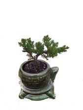 "Bonsai Japanese Juniper Starter Tree Live Plant with Ceramic 4"" Pot Best Gift"