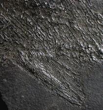 Perm  Reticulolepis exsculpta Spitzschupper  Richelsdorf  Kupferschiefer  W84-4