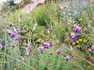 Salvia candelabrum, 20 seeds