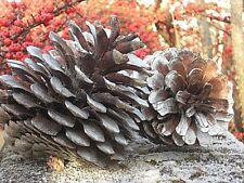 5 pine cones, LARGE, 4 silver painted, 1 gold,  Welsh UK grown, home decor