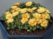 Jewel Plant Seed Aloinopsis schooneesii Arid Living Small Succulent Cold Hardy