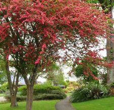 Crataegus Pauls Scarlet, beautiful flowering Hawthorn Tree grown peat free 2-3ft