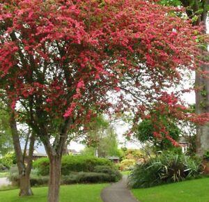 Crataegus Paul's Scarlet, beautiful flowering Hawthorn Tree, peat free 4ft