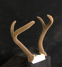 VELVET deer antlers horns horn shed cabin decor antler interior design taxidermy