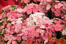 SWEET WILLIAM NEWPORT PINK - Dianthus barbatus - SWEET CORAL - 1000 seeds
