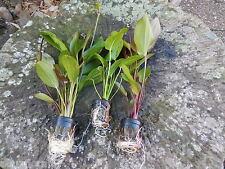 promo lot de 3  pieds echinodorus xl plante aquarium discus poisson filtre