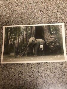 1900s Stanley Park, Vancouver ,B.C. Elephant, Great Dane Dog Giant  Tree Men 175