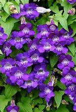 Asarina scandens Gloxinienwinde  blaue Blüten *Kletterpflanze