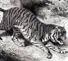 Royal Tiger Original Buffon antiguo grabado impresión de Historia Natural