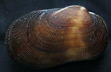 edspal shells -Barbatia amygdalumtosum  78.5mm F+++, sea shell Philippines
