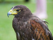 Harris Hawk Postcard Harris's Falconry Bird of Prey Steve Greaves Print Art Card