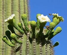 15 Semillas - Saguaro - CARNEGIEA GIGANTEA - Sahuario - Samen - Semi