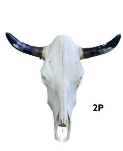 "POLISHED HORNS COW SKULL 21"" X 20""  STEER SKULL HORN,LONGHORN, TAXIDERMY 2P"