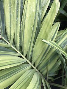 Variegated Christmas Palm Tree - Adonidia merrillii Varigata - Nice Variegation