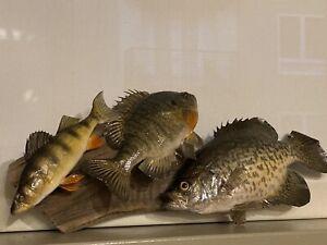 Beautiful Sunfish Bluegill Panfish Fish Taxidermy Wall Mount Art Wildlife