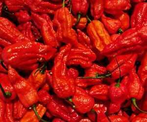 Naga Morich Super Hot Pepper Seeds x 25