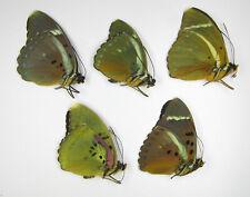 Euphaedra mix 5 pcs wholesale entomology art collections Nymphalidae
