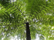 100 spores de FOUGERE ARBORESCENTE(Cyathea Australis)G799 ROUGH TREE FERN SEEDS
