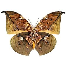 One Real Butterfly Anaea Archidona Gold Leaf Mimic Peru Unmounted Wings Closed